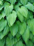 φύλλα hosta Στοκ Εικόνες