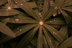 Φύλλα Lupine Στοκ Φωτογραφίες