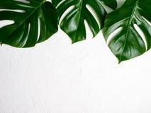 Φύλλα Monstera σε ένα υπόβαθρο στοκ εικόνα με δικαίωμα ελεύθερης χρήσης