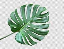 Φύλλα Monstera στο άσπρο υπόβαθρο Τροπικός, βοτανικός στοκ φωτογραφίες