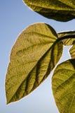 Φύλλα Paulownia στοκ εικόνα