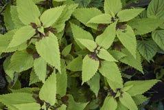 Φύλλα Plectranthus scutellarioides Στοκ Φωτογραφία