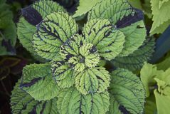 Φύλλα Plectranthus scutellarioides Στοκ εικόνες με δικαίωμα ελεύθερης χρήσης