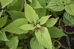 Φύλλα Plectranthus scutellarioides Στοκ φωτογραφία με δικαίωμα ελεύθερης χρήσης