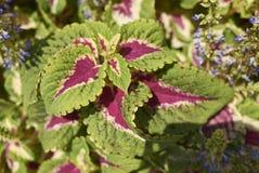 Φύλλα Plectranthus scutellarioides Στοκ φωτογραφίες με δικαίωμα ελεύθερης χρήσης