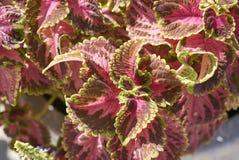 Φύλλα Plectranthus scutellarioides Στοκ Εικόνα