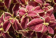 Φύλλα Plectranthus scutellarioides Στοκ Φωτογραφίες