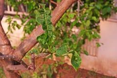 Φύλλα Plumeria και δυσμορφία βλαστών Στοκ εικόνα με δικαίωμα ελεύθερης χρήσης