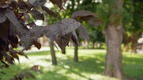 Φύλλα Sakura μετά από τη θερινή βροχή φιλμ μικρού μήκους