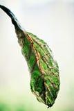 φύλλο αβοκάντο που μαραί&n Στοκ Φωτογραφία