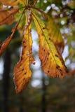 φύλλο αλόγων κάστανων φθι&n Στοκ Φωτογραφίες