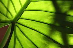 φύλλο ανασκόπησης τροπι&kappa Στοκ φωτογραφία με δικαίωμα ελεύθερης χρήσης