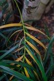 Φύλλο και κορμός του χρυσού φοίνικα φρούτων arecaceae dypsis lutescens από madagaskar Στοκ Φωτογραφία