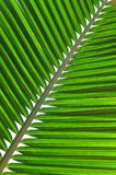 φύλλο καρύδων στοκ φωτογραφία