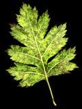φύλλο κραταίγου curvisepala crataegus στοκ φωτογραφία με δικαίωμα ελεύθερης χρήσης