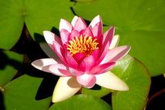 φύλλο λουλουδιών Στοκ φωτογραφία με δικαίωμα ελεύθερης χρήσης