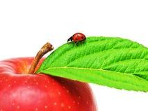 φύλλο μήλων ladybug Στοκ Εικόνα