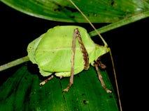 Φύλλο-μίμος katydid στο φύλλο Κόστα Ρίκα, Puntarenas, Monteverde, πάρκο Selvatura στοκ φωτογραφία με δικαίωμα ελεύθερης χρήσης