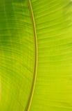 φύλλο μπανανών Στοκ Εικόνα