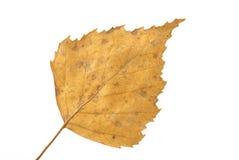 φύλλο σημύδων κίτρινο Στοκ φωτογραφία με δικαίωμα ελεύθερης χρήσης