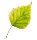 Φύλλο σημύδων Στοκ Εικόνες