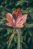 Φύλλο στο δέντρο πεύκων στοκ εικόνες