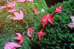 Φύλλο σφενδάμου στο πράσινο βρύο στο τροπικό τροπικό δάσος Στοκ φωτογραφίες με δικαίωμα ελεύθερης χρήσης