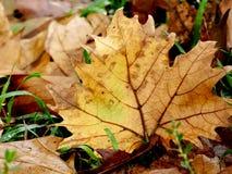 Φύλλο σφενδάμου το φθινόπωρο στην πράσινη χλόη έννοια της διάθεσης Στοκ Εικόνες