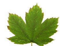 Φύλλο σφενδάμου φθινοπώρου που απομονώνεται Στοκ φωτογραφίες με δικαίωμα ελεύθερης χρήσης