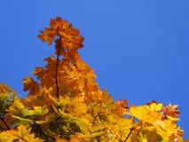 Φύλλο σφενδάμου - χαρακτηριστικός αντιπρόσωπος του φθινοπώρου στοκ εικόνες