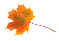 Φύλλο σφενδάμου Στοκ εικόνα με δικαίωμα ελεύθερης χρήσης