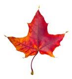 Φύλλο σφενδάμου φθινοπώρου Στοκ εικόνες με δικαίωμα ελεύθερης χρήσης