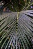 Φύλλο του ιώδους φοίνικα Ptychosperma elegans Arecaceae Στοκ φωτογραφίες με δικαίωμα ελεύθερης χρήσης