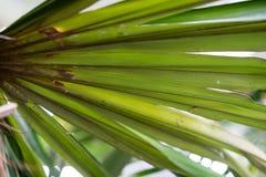 Φύλλο των κουβανικών arecaceae crinata φοινικών καρύδων coccothrinax Στοκ εικόνες με δικαίωμα ελεύθερης χρήσης