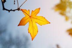 Φύλλο φθινοπώρου, παλαιά πορτοκαλιά φύλλα σφενδάμου, ξηρό φύλλωμα των δέντρων, μαλακή εστίαση, εποχή φθινοπώρου, μια αλλαγή της φ Στοκ φωτογραφίες με δικαίωμα ελεύθερης χρήσης