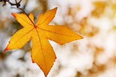 Φύλλο φθινοπώρου, παλαιά πορτοκαλιά φύλλα σφενδάμου, ξηρό φύλλωμα των δέντρων, μαλακή εστίαση, εποχή φθινοπώρου, μια αλλαγή της φ Στοκ Φωτογραφία