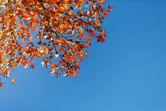 Φύλλο φθινοπώρου, παλαιά πορτοκαλιά φύλλα σφενδάμου, ξηρό φύλλωμα των δέντρων, μαλακή εστίαση, εποχή φθινοπώρου, μια αλλαγή της φ Στοκ φωτογραφία με δικαίωμα ελεύθερης χρήσης