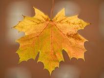 φύλλο φθινοπώρου Στοκ Εικόνες