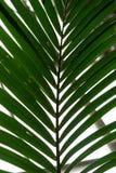 Φύλλο φοινικών από τα arecaceae forsteriana howea kentiapalm από τα Λόρδος-howe-νησιά Στοκ εικόνα με δικαίωμα ελεύθερης χρήσης
