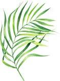 Φύλλο φοινικών καρύδων απεικόνισης Watercolor Τροπικό φύλλο φοινικών απεικόνιση αποθεμάτων