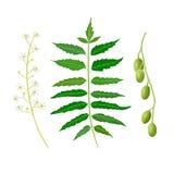 Φύλλο, φρούτα και λουλούδια Neem Χορτάρι Ayurveda χρησιμοποιημένος για τις αναταραχές ματιών, στομάχι που ανατρέπεται, απώλεια όρ διανυσματική απεικόνιση