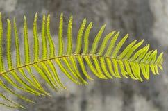 Φύλλο φτερών στρουθοκαμήλων με τους σπόρους στοκ εικόνα
