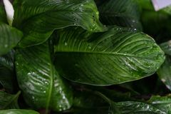 Φύλλο φυτών araceae floribundum Spathiphyllum από την Κολούμπια Στοκ Εικόνες