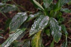 Φύλλο φυτών araceae wallisii Spathiphyllum από την Κολούμπια και τη Βενεζουέλα Στοκ φωτογραφία με δικαίωμα ελεύθερης χρήσης