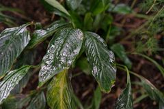 Φύλλο φυτών araceae wallisii Spathiphyllum από την Κολούμπια και τη Βενεζουέλα Στοκ Εικόνα