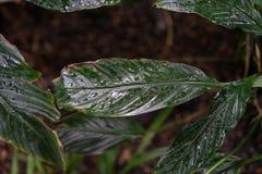 Φύλλο φυτών araceae wallisii Spathiphyllum από την Κολούμπια και τη Βενεζουέλα Στοκ εικόνες με δικαίωμα ελεύθερης χρήσης