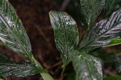 Φύλλο φυτών araceae wallisii Spathiphyllum από την Κολούμπια και τη Βενεζουέλα Στοκ Φωτογραφίες