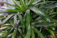 Φύλλο φυτών arecaceae excelsa Rhapis από τη Νοτιοανατολική Ασία Στοκ φωτογραφία με δικαίωμα ελεύθερης χρήσης