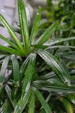 Φύλλο φυτών arecaceae excelsa Rhapis από τη Νοτιοανατολική Ασία Στοκ Φωτογραφίες