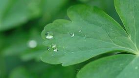 Φύλλο Aquilegia με τις σταγόνες βροχής απόθεμα βίντεο